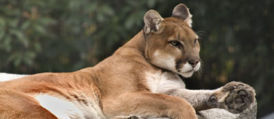 mountain lion confidence